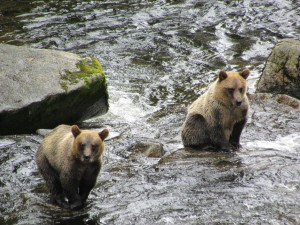 Brown bears look for fish to feed back into the forest ecosystem