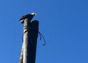 A bald eagle in Wrangell. (Katarina Sostaric/KSTK)