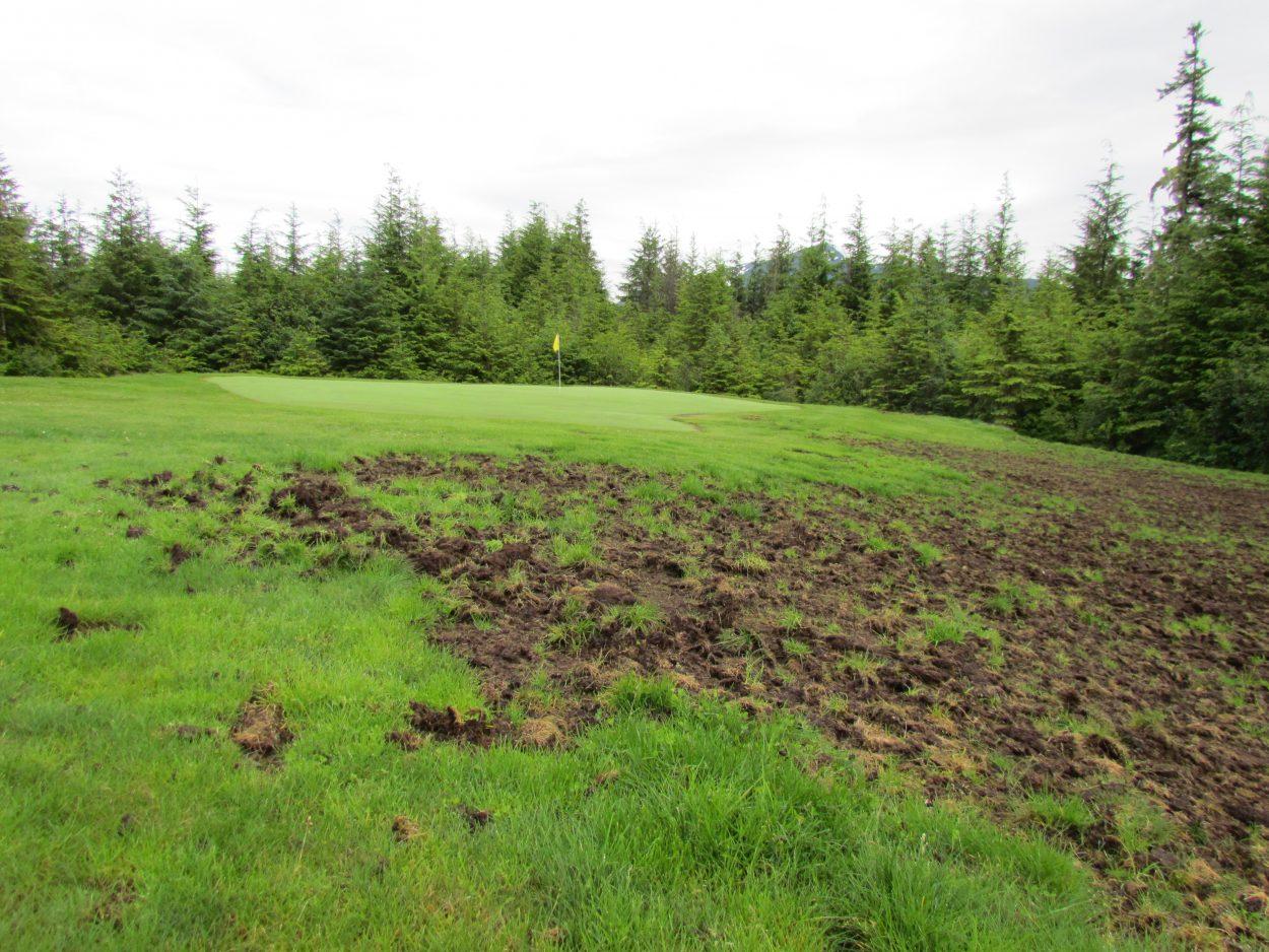 Ravens wreak havoc on golf course