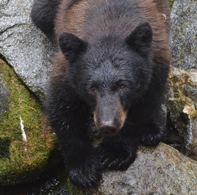 Habituation allows bears and people to coexist at Anan Creek