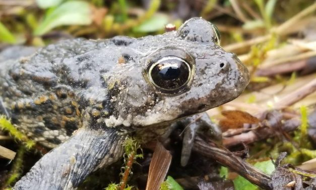 """""""He who cares for the frogs,"""" an Alaska herpetologist on amphibians near the Stikine"""